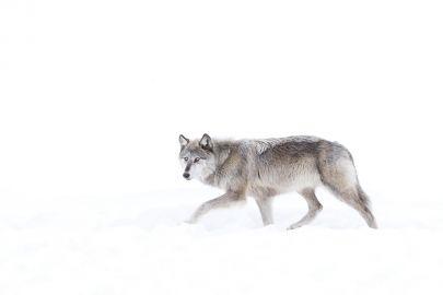 Cuadro lobo solitario cazando en la nieve