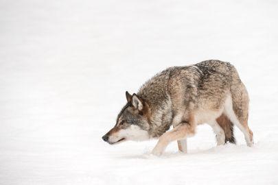 Cuadro de tela y madera lobo cazando