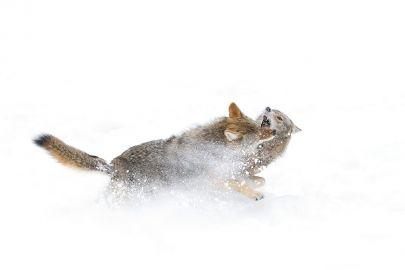 Cuadro pareja de lobos peleando en la nieve