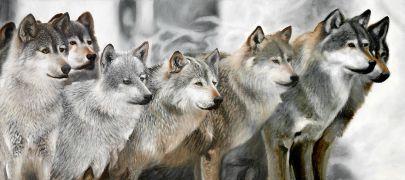 Cuadro manada de lobos en la montaña