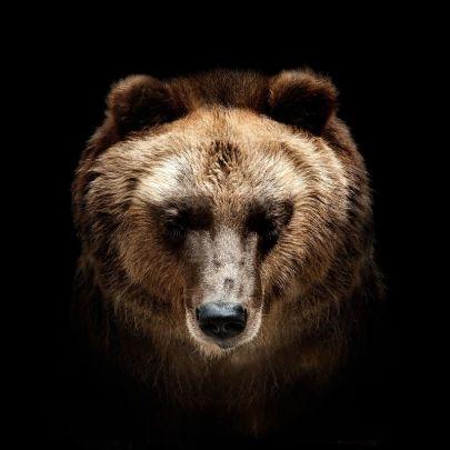 cuadro oso pardo fondo negro